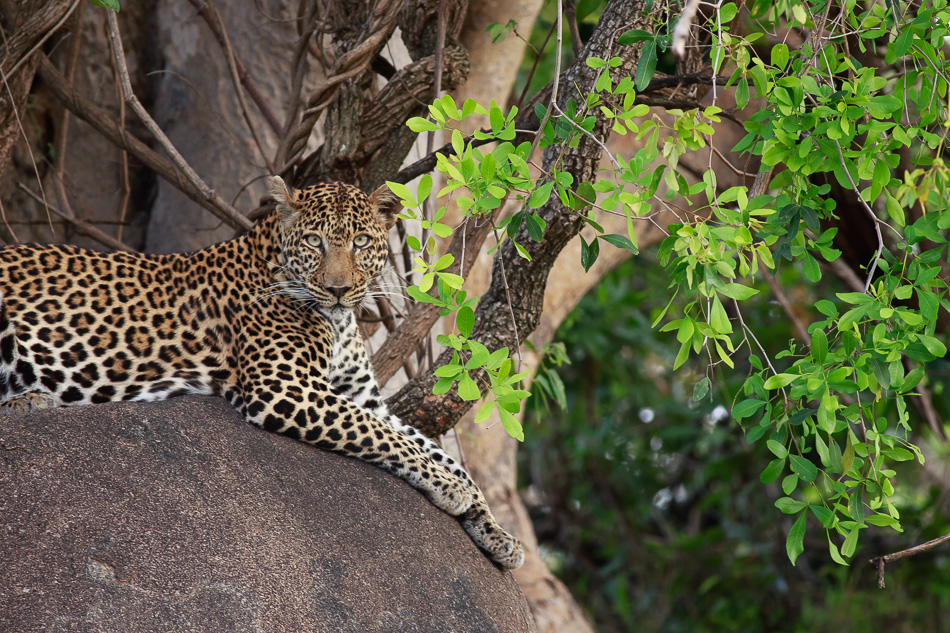 Leopard in Serengeti by Anne McKinnell