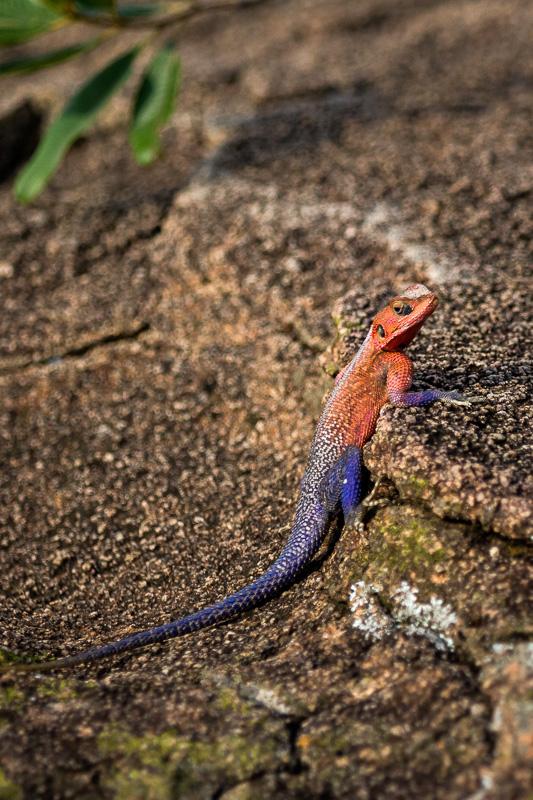Rainbow Agama Lizard by Anne McKinnell