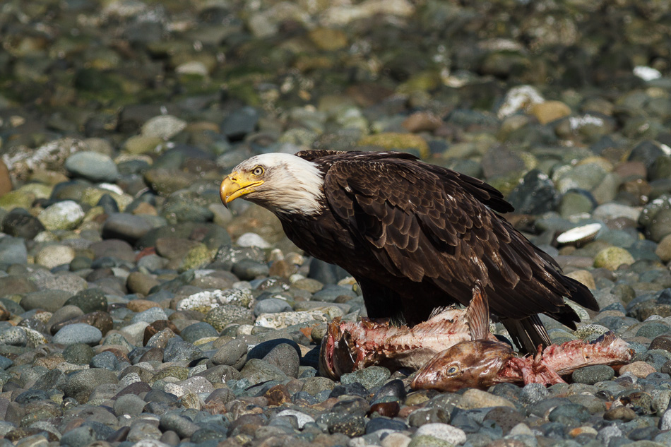 Bald Eagle and Salmon by Anne McKinnell
