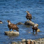 Five Bald Eagles by Anne McKinnell