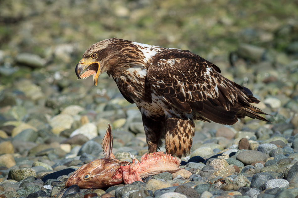 Juvenile Bald Eagle and Salmon by Anne McKinnell