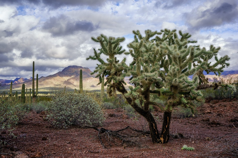 Chain fruit cholla at Organ Pipe National Monument, Arizona
