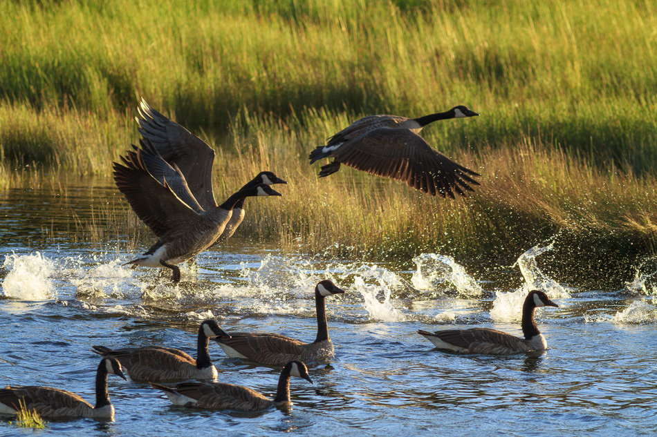 Canada Geese by Anne McKinnell