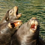 Barking Sea Lions