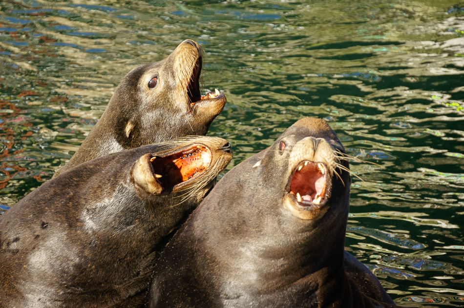 Three Sea Lions by Anne McKinnell