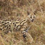 Serval in Ngorongoro Crater Tanzania