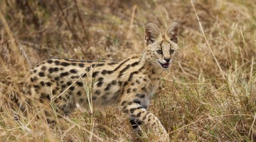 Serval by Anne McKinnell