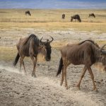 Wildebeest Walking the Line