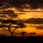 Acacia Trees at Sunrise