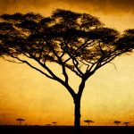 Acacia Tree by Anne McKinnell