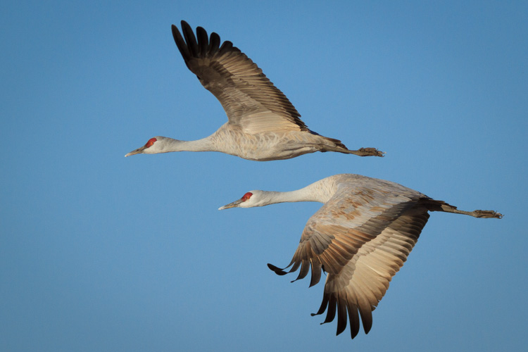 Sandhill Cranes at Whitewater Draw Wildlife Area, Arizona