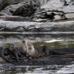 River Otters in Redwood National Park, California