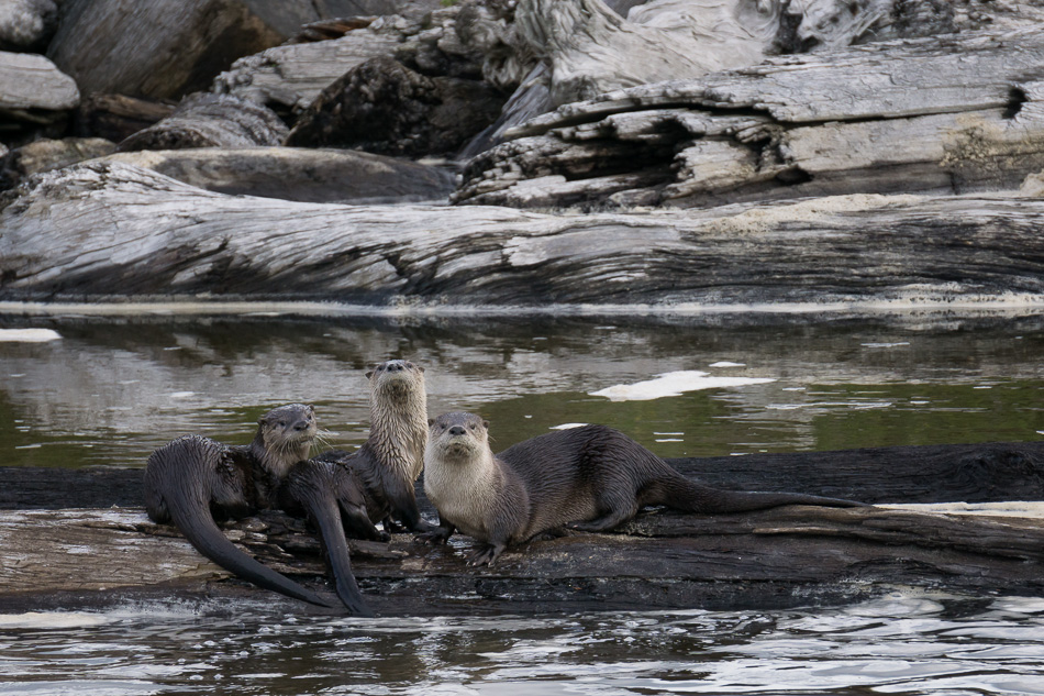 Three River Otters by Anne McKinnell