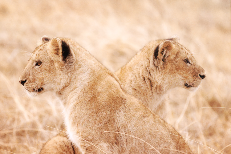Two lion cubs at Ngorongoro Crater, Tanzania