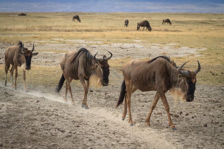 Wildebeest walking along a trail in Ngorongoro National Park, Tanzania