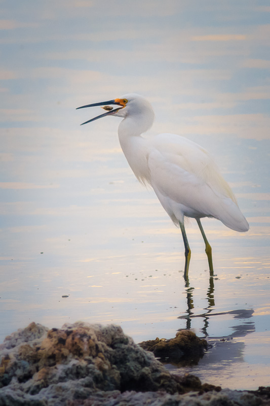 Egret at Salton Sea by Anne McKinnell