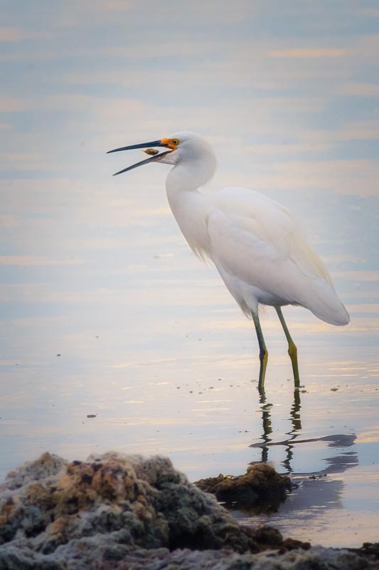 Egret at Salton Sea by Anne McKinnell