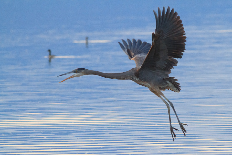 Great Blue Heron Flying by Anne McKinnell