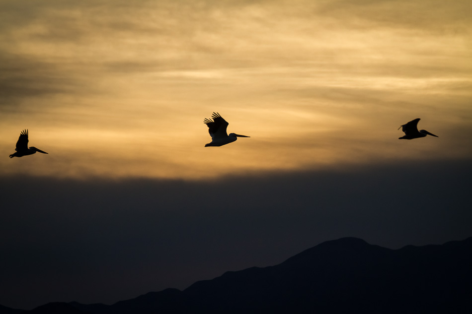 Pelicans Flying at Sunset by Anne McKinnell