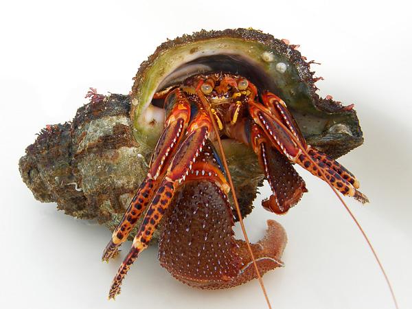 Hermit Crab inhabiting a seashell.