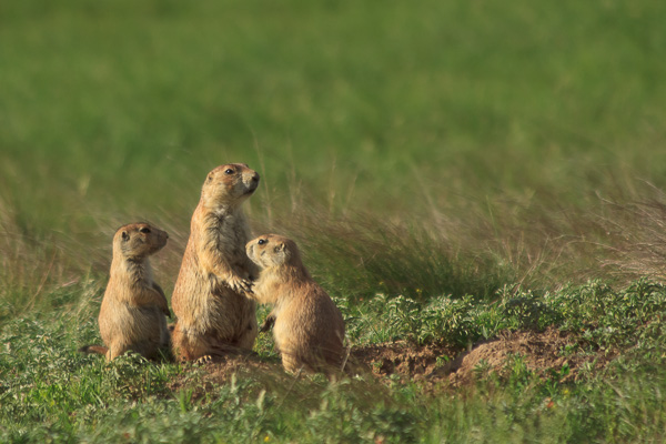 "Prairie dogs in ""Prairie Dog Town"" Devil's Tower National Monument, Wyoming."