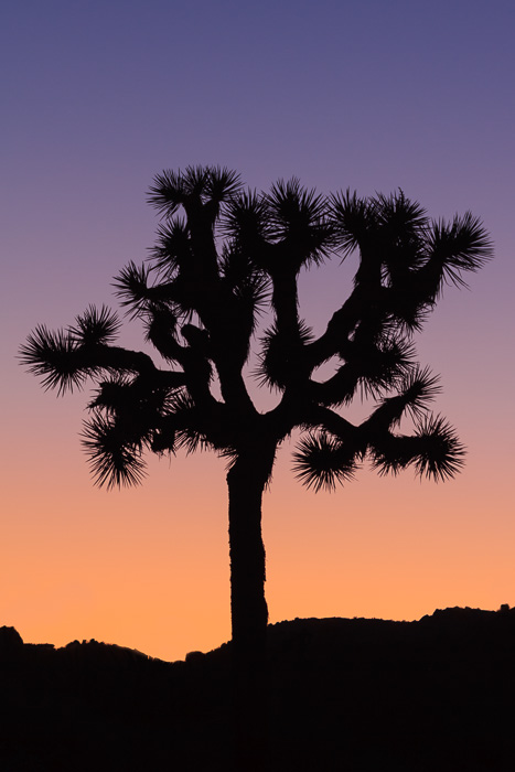 Joshua Tree Silhouette by Anne McKinnell