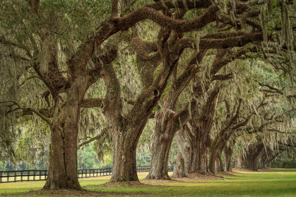 Boone Hall Plantation, South Carolina by Anne McKinnell