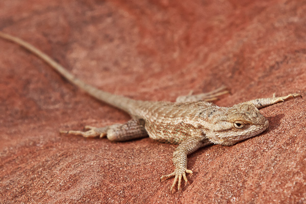 Plateau lizard on red sandstone at Zion National Park, Utah, USA. I didn't need a super telephoto lens for this one as he let me get quite close to him.