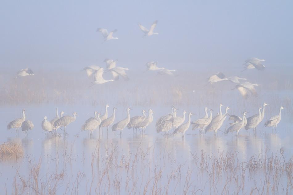 Sandhill cranes by Anne McKinnell