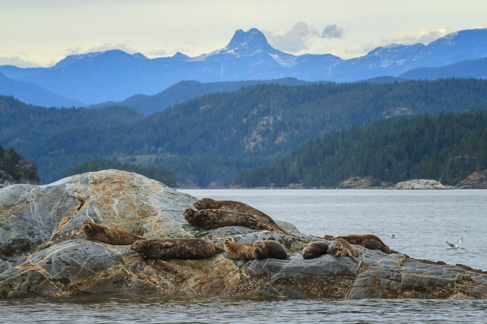 Seals on the Rocks near Campbell River, BC by Anne McKinnell