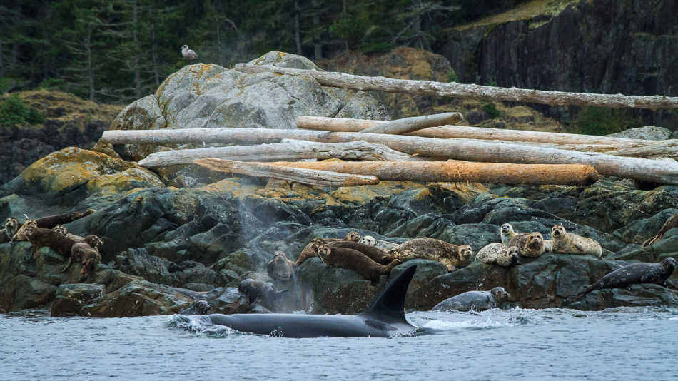 Orcas Hunting Seals by Anne McKinnell