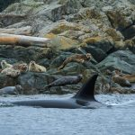 Transient Orcas Hunting Seals in British Columbia