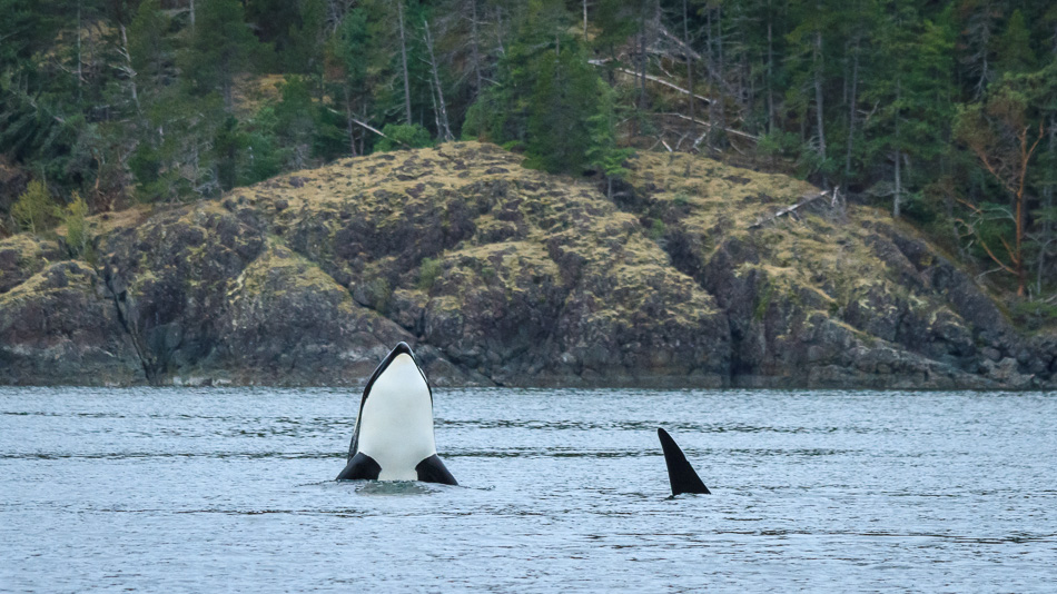 Orca spyhopping by Anne McKinnell