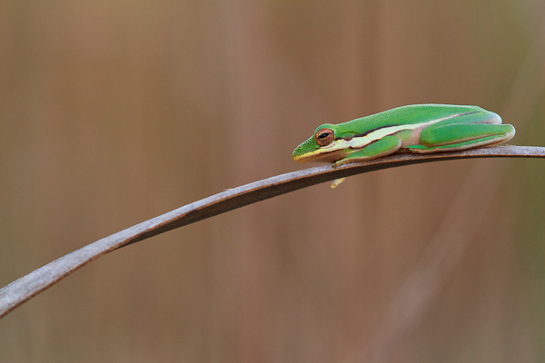 American green tree frog in Everglades National Park, Florida.
