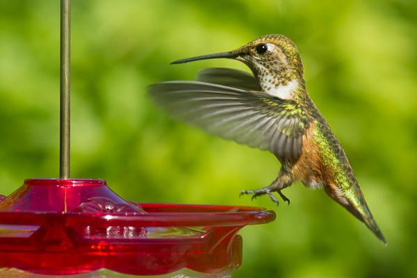 Hummingbird by Anne McKinnell