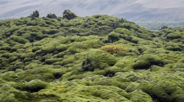Moss on the lava field in Iceland by Anne McKinnell