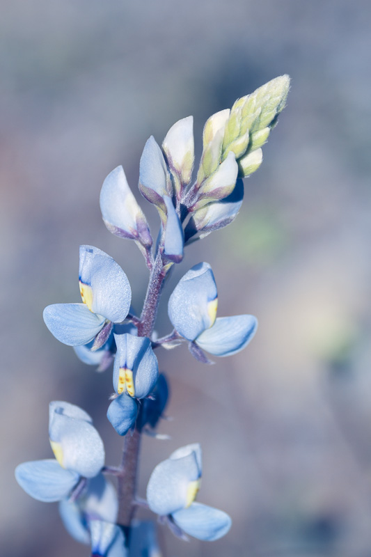 Bluebonnet in Big Bend Ranch State Park, Texas by Anne McKinnell