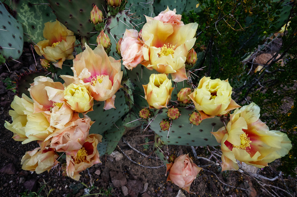 Prickly Pear Cactus flowers in Big Bend Ranch State Park, Texas by Anne McKinnell