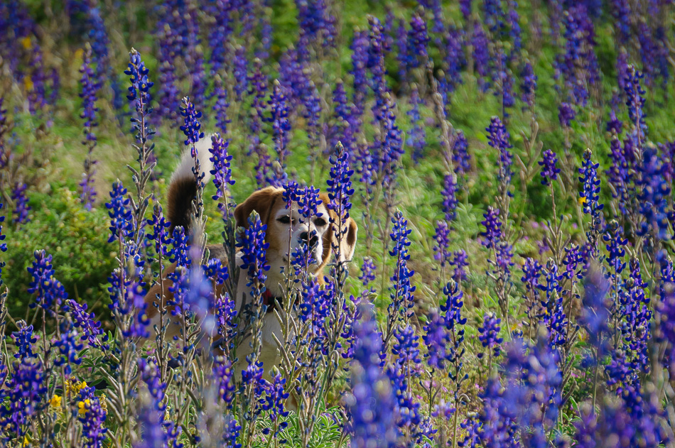 Angie in the bluebonnets in Big Bend Ranch State Park, Texas by Anne McKinnell