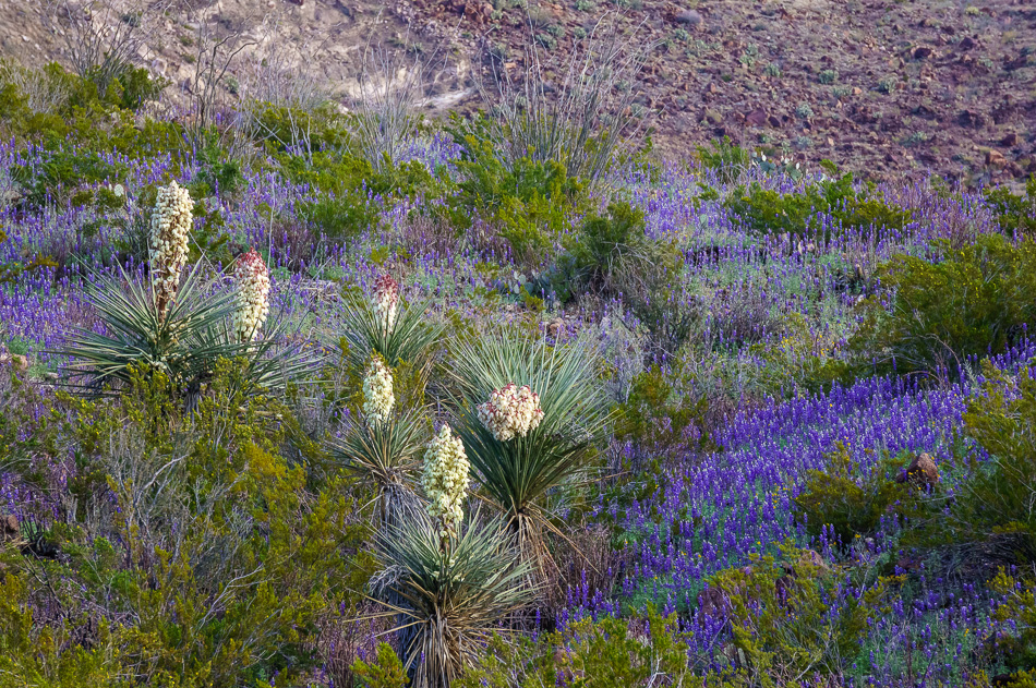 Bluebonnets and Yuccas in Big Bend Ranch State Park, Texas by Anne McKinnell