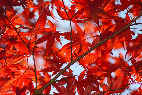 Backlit maple tree in British Columbia by Anne McKinnell