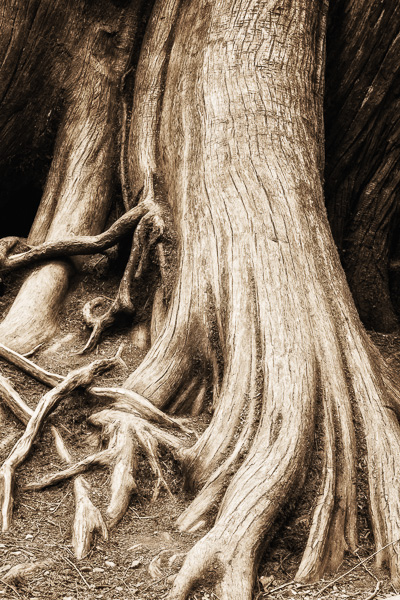 Tree roots by Anne McKinnell