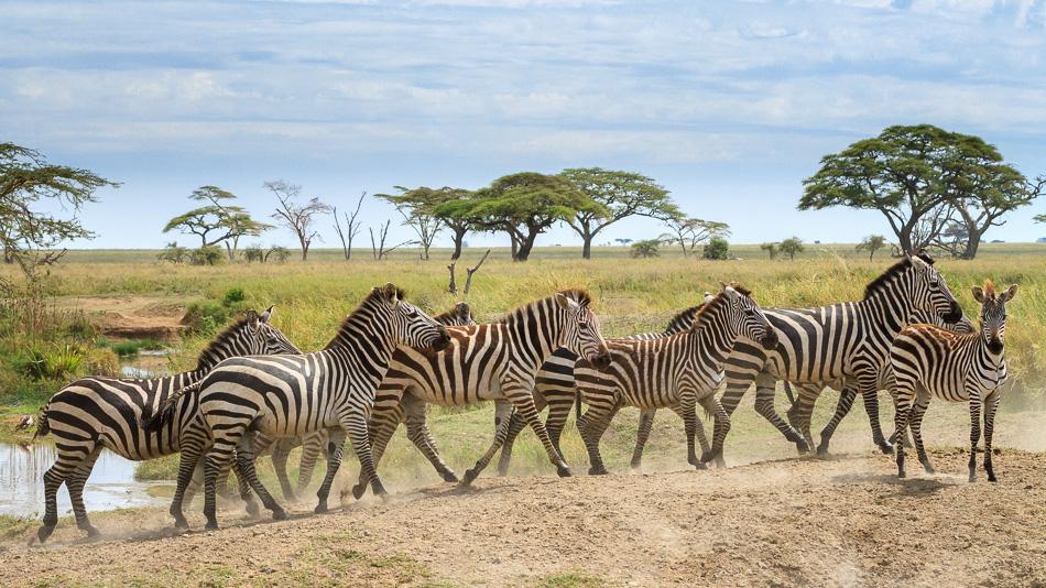 Zebras in Serengeti National Park, Tanzania by Anne McKinnell