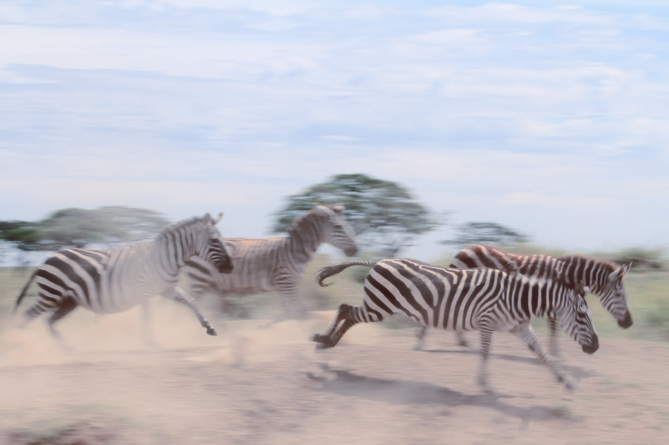 Zebras running at Serengeti National Park, Tanzania by Anne McKinnell