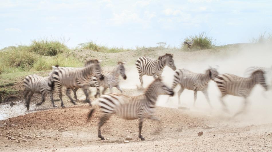 Zebras running at Serengeti National Park, Tanzania by Anne McKinnell