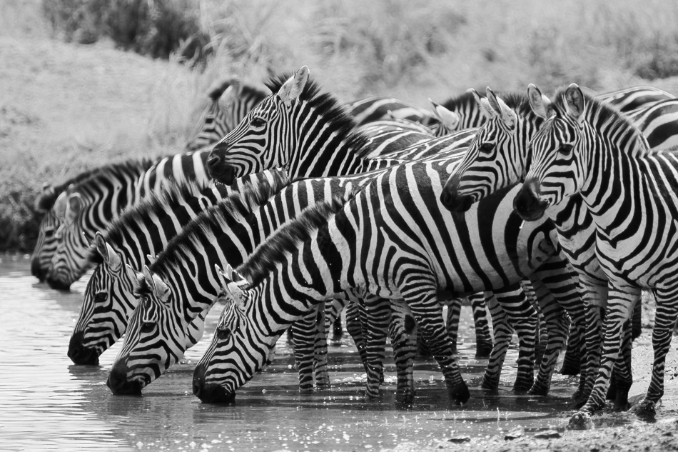 Zebras at the watering hole in Serengeti National Park, Tanzania by Anne McKinnell