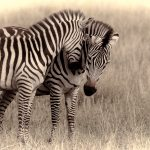 Two zebras at Serengeti National Park, Tanzania by Anne McKinnell