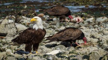 A bald eagle and two turkey vultures by Anne McKinnell
