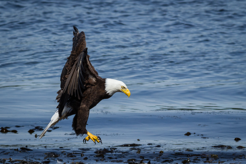 Bald Eagle in Campbell River, British Columbia by Anne McKinnell