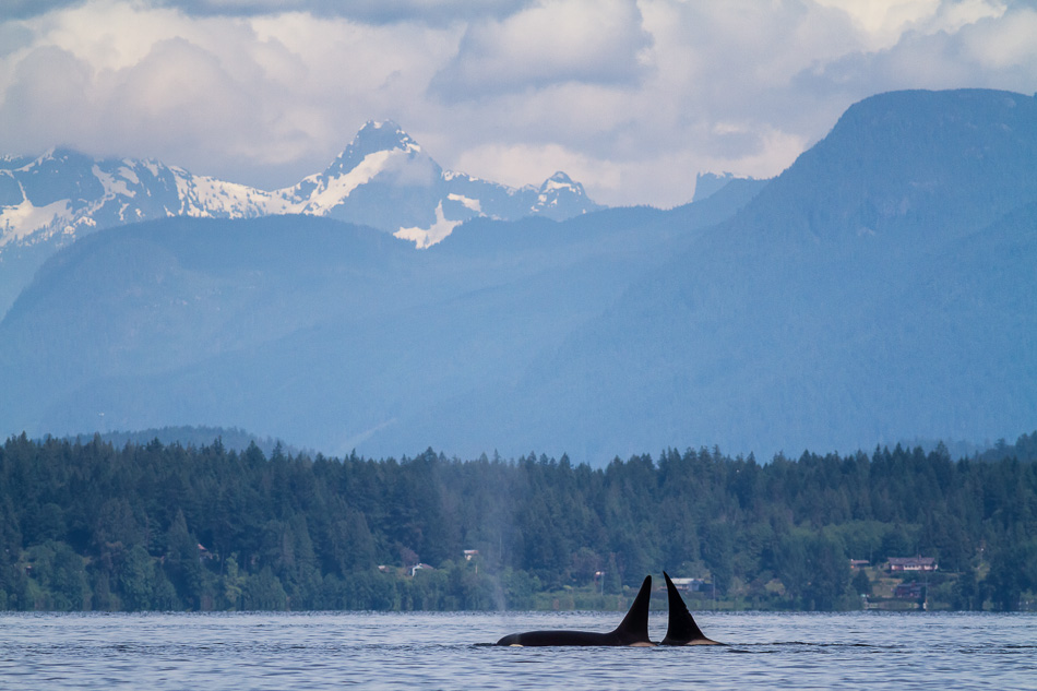 Two Orca swimming near Cortes Island, British Columbia by Anne McKinnell